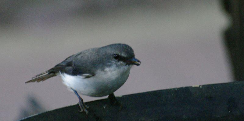 File:Eopsaltria georgiana gnangarra 03.jpg