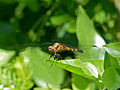 Epaulet Skimmer (Orthetrum chrysostigma) female (11453048065).jpg