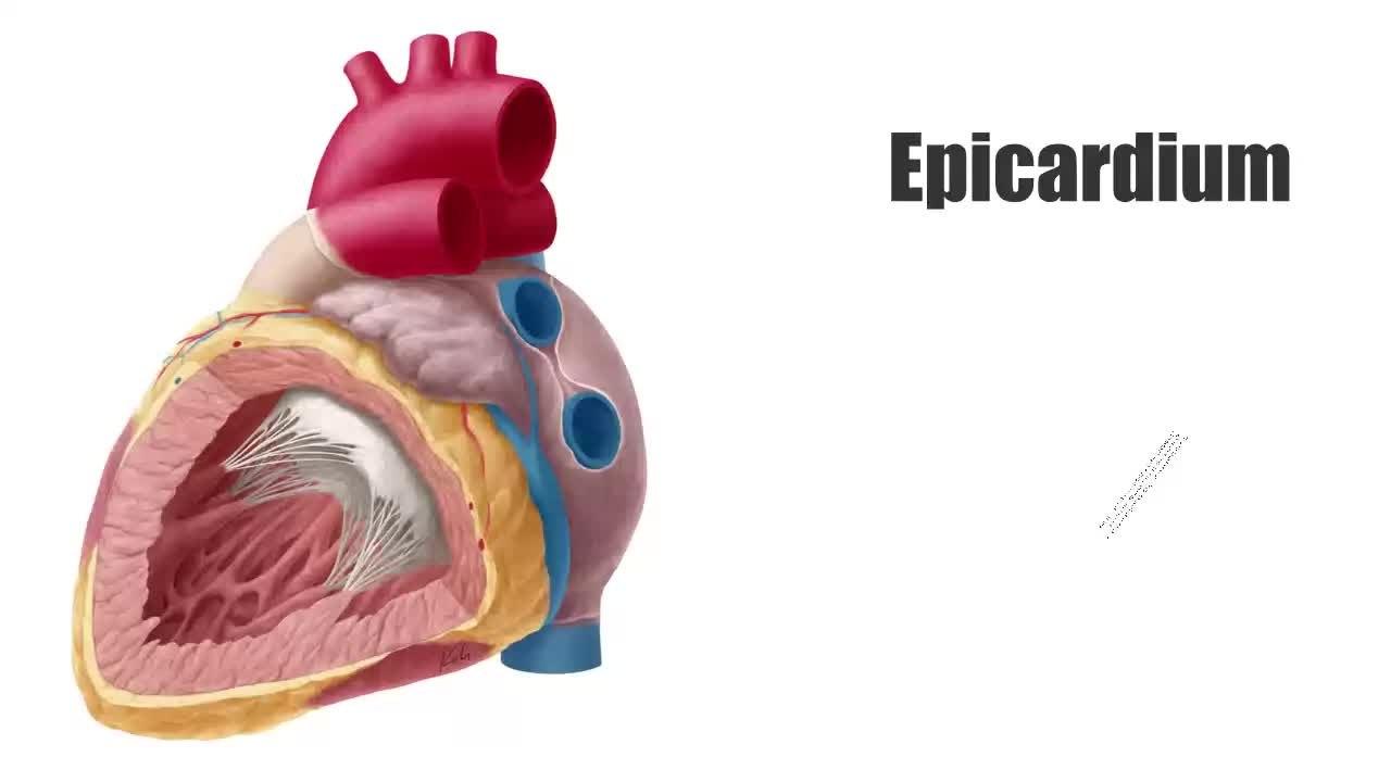File:Epicardium - Definition, Function & Anatomy - Human Anatomy ...