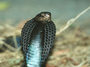 Equatorial-spitting-cobra.jpg