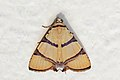 Erebid moth (Eulepidotis affinis).jpg