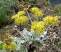Eriogonum crocatum 1.jpg