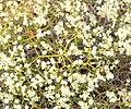 Eriogonum heermannii var sulcatum 5.jpg