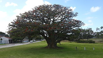 Erythrina caffra - Erythrina caffra tree