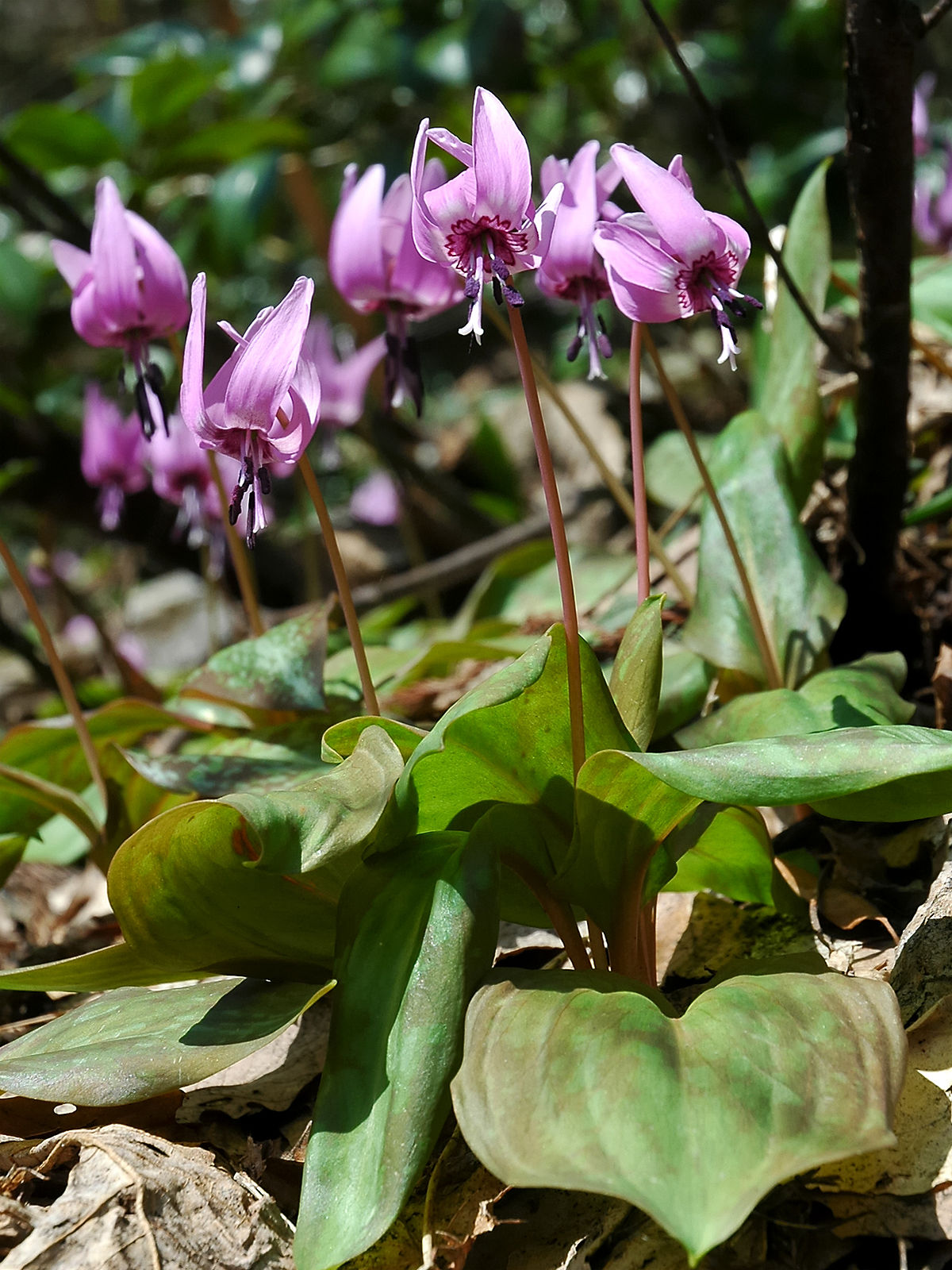 Erythronium japonicum 2006 005.jpg