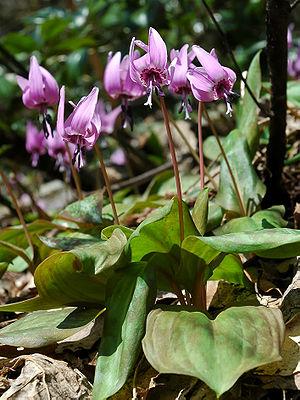 Erythronium japonicum - Image: Erythronium japonicum 2006 005
