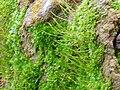 Esporangios Aloina aloides 2010-3-07 SierraMadrona.jpg
