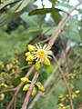 Eucalyptus camaldulensis 05.JPG