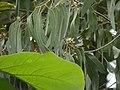 Eucalyptus tereticornis (3781803148).jpg