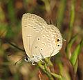 Euchrysops cnejus – Gram Blue 01.jpg