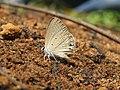 Euchrysops cnejus Fabricius, 1798 – Gram Blue at Aralam Wildlife Sanctuary 2016 (7).jpg