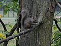Eugene Field Park - Chicago - Gray Squirrel1.JPG