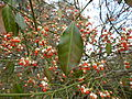 Euonymus fortunei 'vegeta' - leaf and fruits.JPG