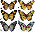 Euphaedra sarcoptera adult females - ZooKeys-298-001-g007.jpg