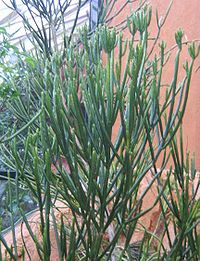 Euphorbia alluaudii var. alluaudii