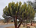 Euphorbia cooperi, Malelanehek.jpg