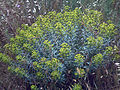Euphorbia dendroides Caracuel CampodeCalatrava.jpg