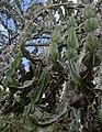 Euphorbia sp.4 - Mt. Yoloko (10003630094).jpg