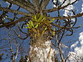 Euphorbia sp.8 - with orchids (10021664684).jpg