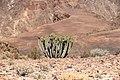 Euphorbia virosa- Gifboom - poison tree-2092 - kopia - Flickr - Ragnhild & Neil Crawford.jpg