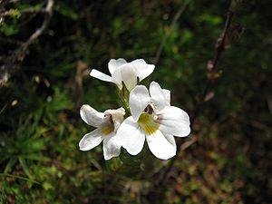 Euphrasia - Euphrasia gibbsiae subsp. subglabrifolia