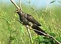 Eurasian Cuckoo Cuculus canorus by Vedant Raju Kasambe DSC 5558 (2).jpg