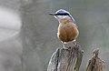 Eurasian Nuthatch (Sitta europaea), Parc du Rouge-Cloître, Brussels (33526622711).jpg