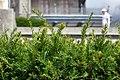 European yew Taxus baccata IMG 3655 1725.jpg