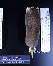 Euroscaptor mizura - National Museum of Nature and Science, Tokyo - DSC06747.JPG