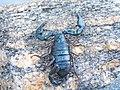 Euscorpius italicus Valle Maggia Ticino.jpg