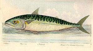 Atlantic mackerel - An 1835 illustration of the Atlantic mackerel.
