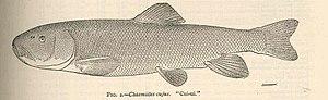 Cui-ui - Image: FMIB 38962 Chasmistes cujus 'Cui ui'