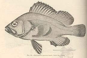 FMIB 42458 Epinephelus quarnus Seale; from the Young.jpeg