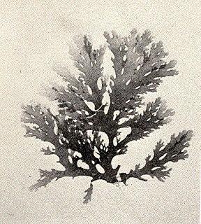 species of alga