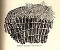 FMIB 52570 Tubipora, organ-pipe coral.jpeg