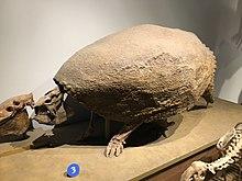 FMNH Glyptodon.jpg