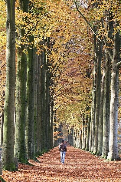 La Hestre  (Belgium), the European beech of Mariemont.