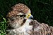 Falco biarmicus feldeggii qtl1.jpg
