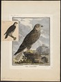 Falco saker - 1700-1880 - Print - Iconographia Zoologica - Special Collections University of Amsterdam - UBA01 IZ18200094.tif