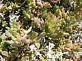 Fale - Giardini Botanici Hanbury in Ventimiglia - 268.jpg