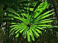 Fan Palm (Licuala valida) (6760733635).jpg