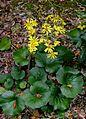 Farfugium japonicum (Mount Myoho).jpg