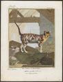 Felis catus - 1700-1880 - Print - Iconographia Zoologica - Special Collections University of Amsterdam - UBA01 IZ22100248.tif
