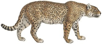 Panthera - Image: Felis onca 1818 1842 Print Iconographia Zoologica Special Collections University of Amsterdam (white background)
