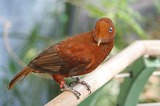 Guianan cock-of-the-rock - Example of female plumage of the Andean cock-of-the-rock, which has redder feathers than the Guianan
