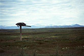 Ferruginous hawk - Ferruginous hawk nesting platform