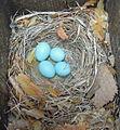 Ficedula hypoleuca egg.JPG