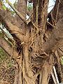 Ficus drupacea 10.JPG
