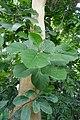 Ficus populifolia-Jardin des Plantes de Paris (3).jpg