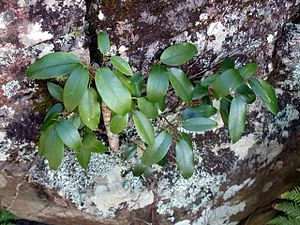 Ficus rubiginosa - Lithophytic Ficus rubiginosa growing on Narrabeen sandstone at Barrenjoey, New South Wales
